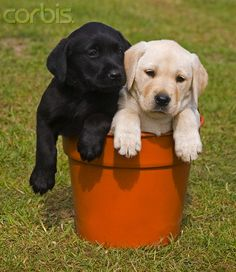 Black and white Labrador puppies in flower pot...just to cute