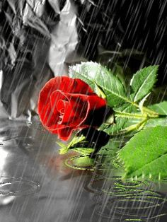 Rain animated red rose Graphic plus many other high quality Graphics for your Facebook profile at KewlGraphics.com.