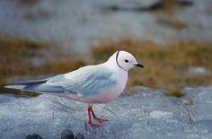 Ross's Gull (Rhodostethia rosea) - Розовая чайка.  Россия, дельта Лены, о. Нерпа-Арыта, 72º53' с.ш. и 129º20' в.д. Фото: Sergey VOLKOV   Также: https://www.flickr.com/photos/70233571@N06/9452190129