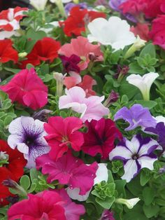 Petunias.  Love sunny spots.  Pick off spent flowers for color all summer long.