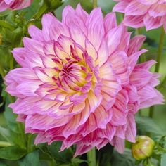 Gallery Bellini Dahlia-I planted one on April 6. It finally poked its head up May 12. It died a month later.