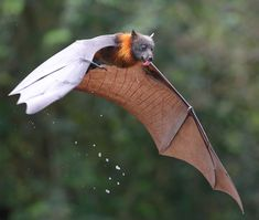 Thirsty by © Michael Cleary Grey-headed Flying Fox licking water drops from its dripping fur after swooping and dipping its belly in the river.