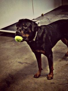Rottie and his ball