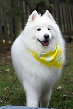 Samoyed :: Scarf and all!