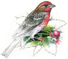 House Finch male watercolour bird art by RobManciniImages on Etsy