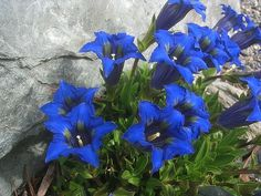 Gentian (Gentiana kochiana) we used to pick these in the Alps before they were protected, also Edelweiss.