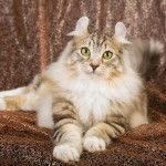 At first their whimsical ears will entice you, but you'll soon appreciate the American Curl's warm heart. | Petcha