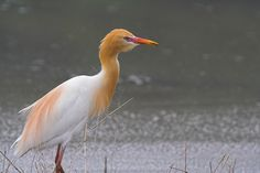 Western Cattle Egret Bubulcus ibis - Google Search