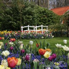 Tulips in Holland (@tulips_holland) | Twitter