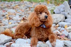 Beautiful red poodle #timberidgegoldendoodles