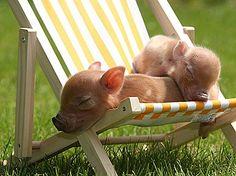 dieren |  biggetjes | chill | zon