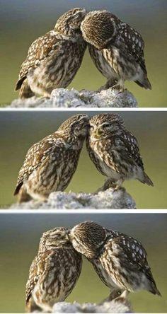 uilen liefde