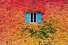 Blauwe luikjes in klimop herfstkleur