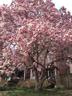 Saucer Magnolia Tree - spring blooms - X full sun to partial shade tolerant Backyard Garden Landscape, Flower Landscape, Home Landscaping, Lawn And Garden, Trees And Shrubs, Flowering Trees, Trees To Plant, Saucer Magnolia Tree, Magnolia Trees