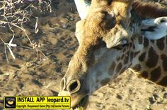 How do Giraffe clean their nostrils? Did You Know, Giraffe, Wildlife, Horses, This Or That Questions, Tv, Animals, Felt Giraffe, Animales