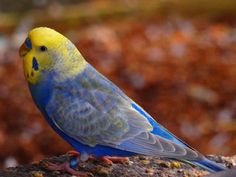 Love the blue on this little sweetie I Like Birds, Cute Birds, Pretty Birds, Beautiful Birds, Budgie Parakeet, Budgies, Funny Birds, Cute Funny Animals, Australian Parrots