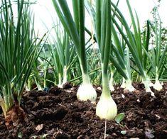 Простые приемы помогут вам вырастить луковицы по полкило весом,