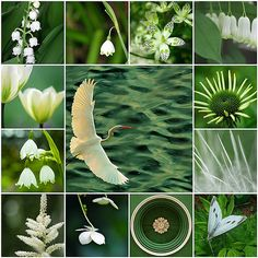 These photos are the property of the photographers linked to below. 1. Great Egret in Flight, 2. lily of the valley, 3. White Bell, 4. Untitled, 5. white bells, 6. white with green stripe, 7. White Swan Coneflower, 8. Glowing, 9. Feather, 10. Astilbe, 11. Two, 12. Ceiling of the Old Courthouse, 13. White on Green14. Not available15. Not available16. Not available Created with fd's Flickr Toys Love Collage, Beautiful Collage, Collages, Pot Pourri, Merian, Affinity Photo, Colour Board, Green Life, Color Of Life