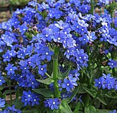 Forget Me Not Perennial 4 Plants - Anchusa 'Blue Angel'
