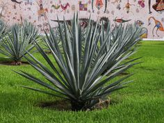 Agave fourcroydes (Henequen) is a monocarpic, rosette forming succulent plant. The plant stalk is up to 6 feet (1.8 m) in the wild...