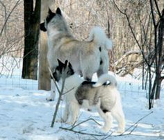 Akitas in the snow……that's where they are meant to be 🙂 Akitas im Schnee … hier sollen sie sein 🙂 Akita Puppies, Akita Dog, Dogs And Puppies, Doggies, Japanese Akita, Japanese Dogs, Beautiful Dogs, Animals Beautiful, Cute Animals