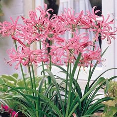 Nerine bowdenii 'Pink' from Thompson & Morgan - experts in the garden since 1855 Buy Plants, Shade Plants, Garden Plants, Summer Flowers, Pink Flowers, Beautiful Flowers, Amarillis, Tree Seeds, Spring Bulbs