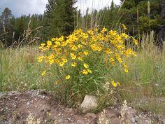 Showy Goldeneye (Viguiera multiflora) -  up to 4' tall