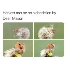 Harvest mouse on a dandelion by Dean Mason - So cute - iFunny :) Cute Little Animals, Cute Funny Animals, Funny Cute, Top Funny, Amazing Animals, Animals Beautiful, Cute Creatures, Beautiful Creatures, Animal Original