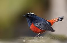 """White capped redstart - (White capped Redstart )  You May Follow me  at 