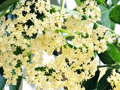 Holunderblütensirup