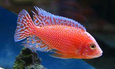 auloncara firefish