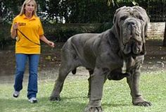 Largest Dogs In the World