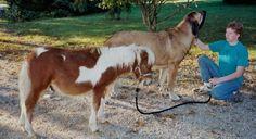 Spanish Mastiff Fall Creek Farm Livestock Guardian Dogs