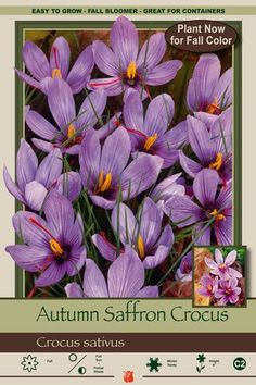 Crocus sativus from Netherland Bulb Company - Grass-like foliage surrounds this chalice shaped flower. Wild saffron crocus are easy to grow in moist well-drained soil in either full or partial sun. Enjoy blooms in late summer and fall. Plant in July and August for fall blooms. Leaves come up in spring and fade by summer. These fall beauties will become a favorite for many years.