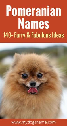 140+ furry and fabulous dog names for a Pomeranian. You'll love these outstanding dog names perfect for a Pom puppy!