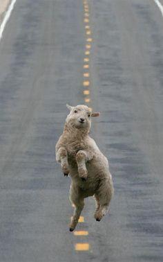 Craque devant ce mouton...