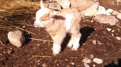 Nigerian Dwarf Goats, Animals, Animales, Animaux, Animal, Animais