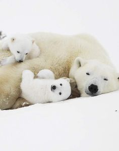 Uihhh, one little polar bear OVER and one little polar bear UNDER their MOM!