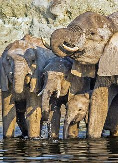 Elephants Drinking, Chobe National Park, Botswana