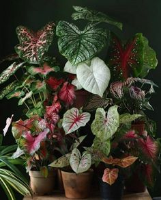 Red Plants, Foliage Plants, Tropical Plants, Plants With Colorful Leaves, Shade Garden, Garden Plants, Indoor Plants, Leaf Coloring, Plant Design