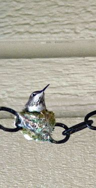 Hummingbird and her nest between the chains.