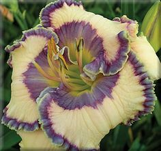 Daylily 'Bluegrass Music' -  Check out this ebook to improve your garden soil http://www.amazon.com/gp/product/B00F141TT6/ref=as_li_ss_tl?ie=UTF8&camp=1789&creative=390957&creativeASIN=B00F141TT6&linkCode=as2&tag=thecomflife-20