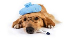Kennel Cough Kennel Cough