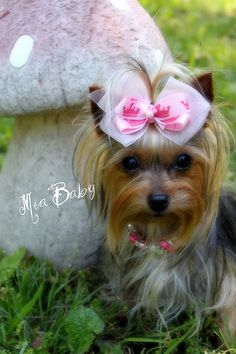 Little Diva, I would probably never do this with my yorkie, but it is cute.