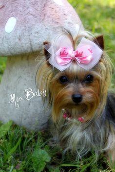 Too cute! Yorkie