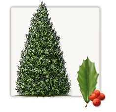 Foster Holly Tree | Mature Height: 20' | Growth Rate: 1' Per Year #trees #landscaping #gardening