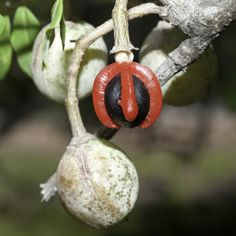 Photo of African myrrh (Commiphora afriana, Burseraceae) Click to go and read the article about seed conservation training in South Africa by Wolgang Stuppy from Kew.