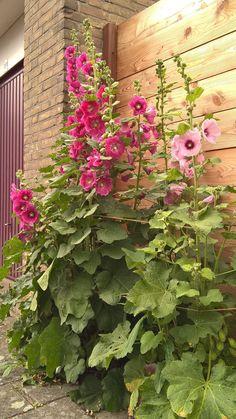 Hollyhocks in full bloom - My Garden Decor List Beautiful Gardens, Beautiful Flowers, Hollyhocks Flowers, Pot Plante, Garden Cottage, Dream Garden, Garden Inspiration, Backyard Landscaping, Container Gardening