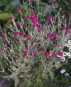 Rose Campion Seeds Purple Flower Garden Plant Self Seed Yard Lychnis 200