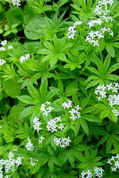 Backyard Patch Herbal Blog: Cleavers - Herb of the Week